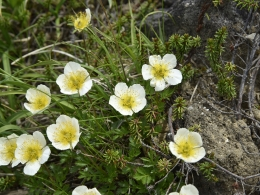 乗鞍岳7月高山植物 (4)、チングルマ