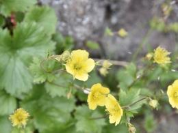 乗鞍岳7月高山植物 (5)