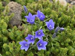 乗鞍岳7月高山植物 (2)、イワギキョウ