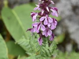 乗鞍岳7月高山植物 (8)