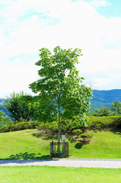 平和のアオギリの木