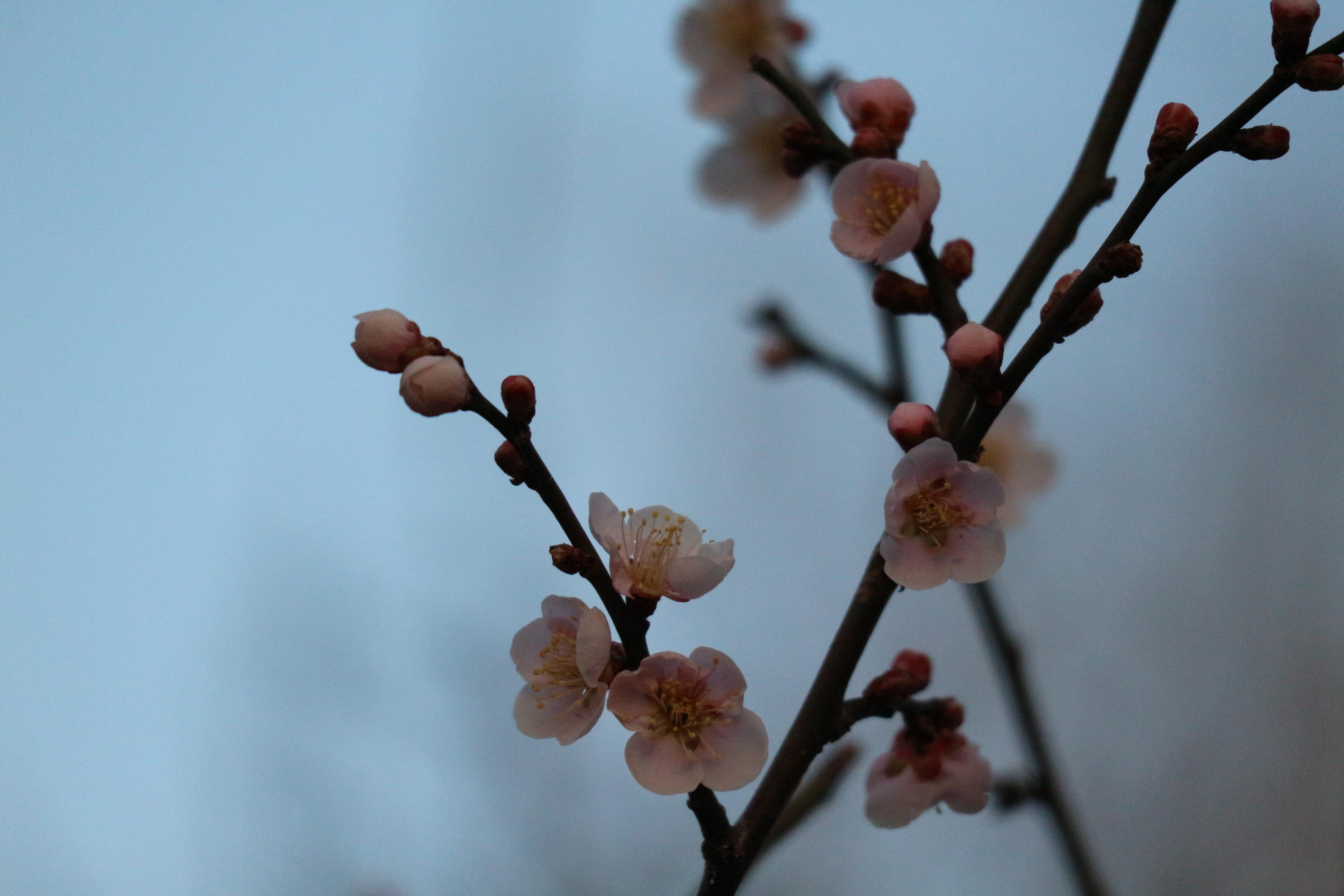 松本城の梅も咲き始め春の足音が聴こえる夕暮れのまつもと